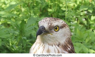 Rough-legged buzzard