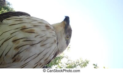 Rough-legged buzzard  close up, bottom view