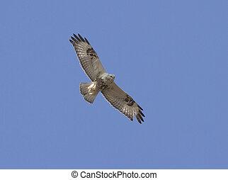 Rough-legged buzzard in flight.