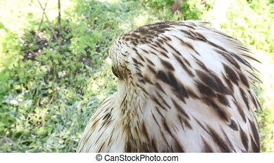 Rough-legged buzzard close up, look with a side