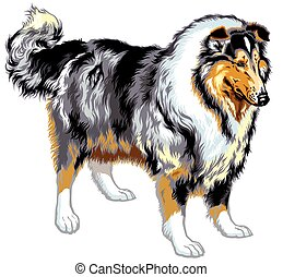 rough or long haired collie or scottish shepherd dog. Blue merle color. Image isolated on white