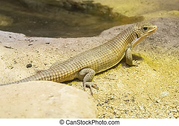 Rough-scaled plated lizard on the sand