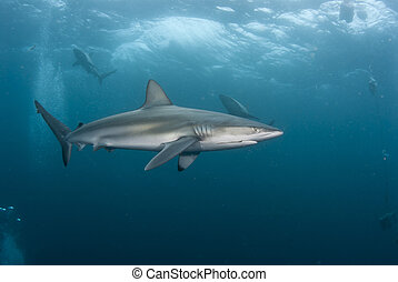The view of blacktip sharks swimming in rough waters, Kwa Zulu Natal, South Africa