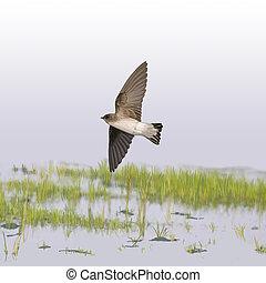 rough-winged, andorinha, norte