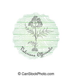 Round Badge with Contour Valerian Plant and Plank Wooden Background. Valeriana Officinalis Plant Name Bent by the Badge Shape. Label for Traditional Herbal Medicine, Cosmetology, Food Industry.