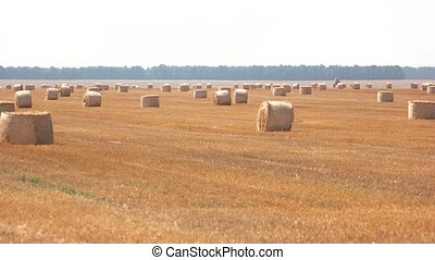 Round bales of hay. Straw and sunshine. August in...