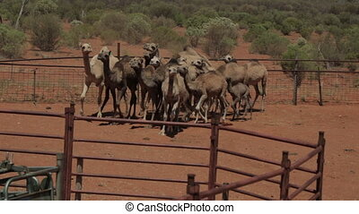 rounding up domesticated camels, NT - Close-up panning shot ...