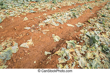 Routing with cabbage farm after harvesting.