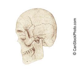 rovnat se profil, názor, o, lidská bytost lebka, dále, jeden, běloba grafické pozadí
