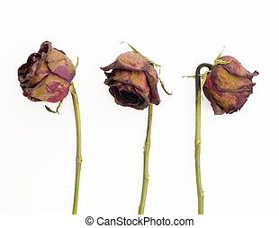 Row of 3 old dried red roses against a white background