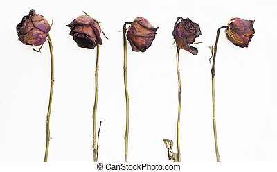 Row of 5 old dried red roses isolated against a white background