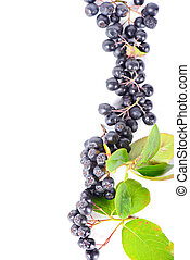 Row of aronia berries for border or frame