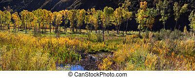 Row of Aspen trees