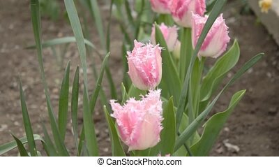 Row of beautiful pink tulips with r