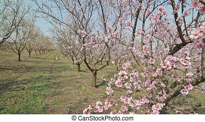 Garden rows of blooming almond trees with pink flowers at strong wind during springtime in Moldova