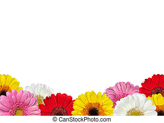 Row of Colorful Gerbera Flowers Islated