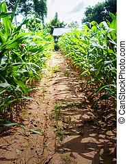 row of corn field.