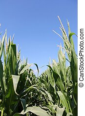 Row of Corn