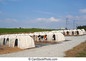 row of corral for little calf, cow farm, dairy business