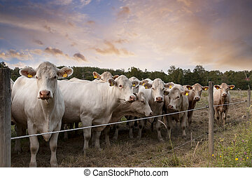 row of cows behind fence on farm in evening light