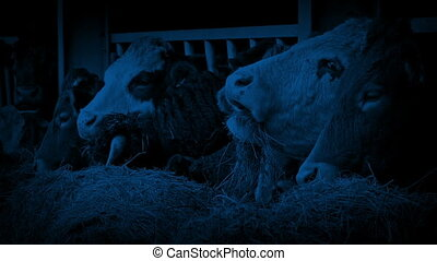 Row Of Cows Feeding At Night