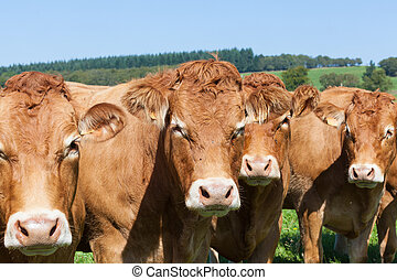 Row of four curious brown Limousin beef cows in a sunny pasture in a close up view with focus to the face of the centre cow