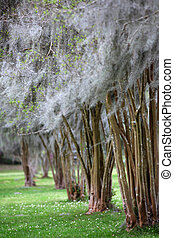 Row of Cypress trees in Louisiana