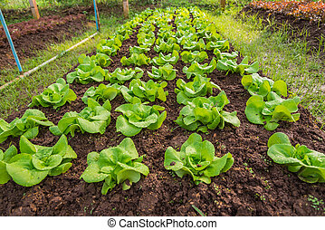 Row of Fresh salad leave Butter head lettuce in the Organic farm with selective focus