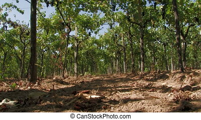 Row of grape vines seen from ground