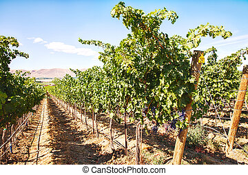 A row of cabernet sauvignon grapes stretches down a long row in a vineyard on Red Mountain in Washington State.