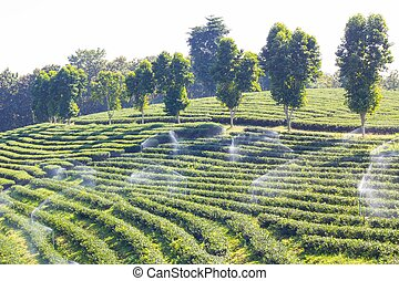 Row of green-tea trees in farm, wide angle shot