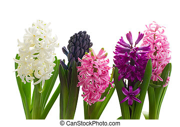 row of hyacinth flowers isolated on white background