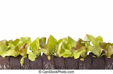 row of lettuce seedlings in dirt on white background
