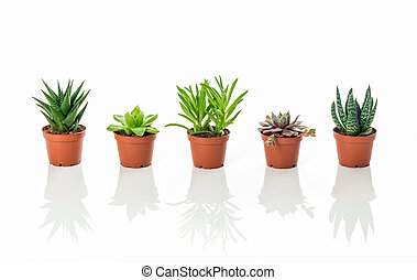 Row of little succulent plants with reflections