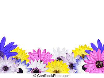 Row of Multi Colored Various Osteosperum Daisy Flowers