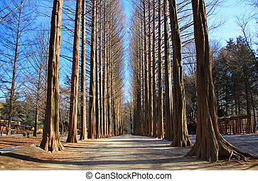 Row of pine trees