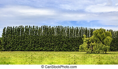 Row of Poplars