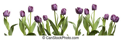 Row of Purple Tulips