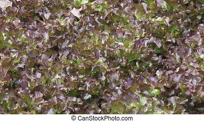 Row of red oakleaf, Lactuca sativa zoom out - Row of red...