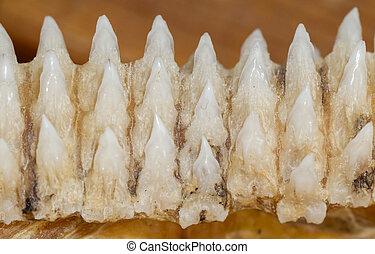 Row of shark teeth in jaw, selective focus