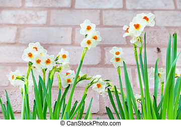 Row of Spring white and yellow Daffodils on brick wall background