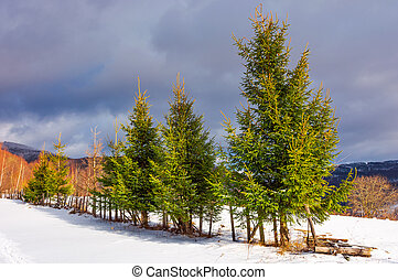 row of spruce trees on top of a hill in winter
