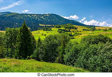 row of trees on Carpathian hills. beautiful countryside...