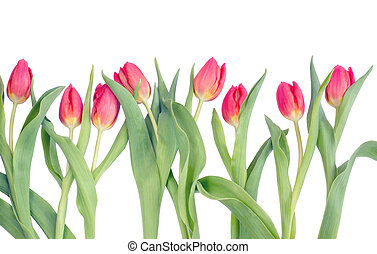 Row of tulips on a white