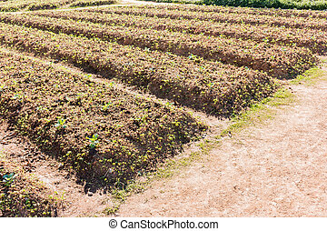 Row of Vegetable garden