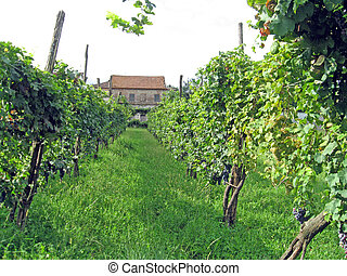 Row of vines in the countryside