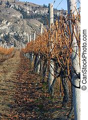 Row of vines in winter