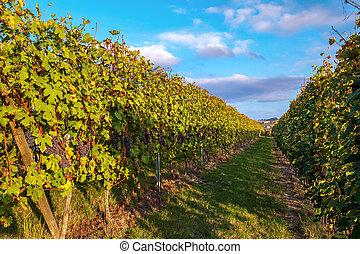 Row of vineyards in autumn.