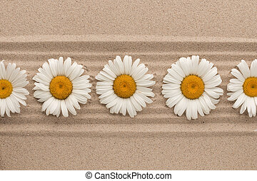 Row of white daisies lying on sand lines.