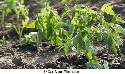 Row of Young green tomatoes just landed in the ground are standing on a sun in the garden